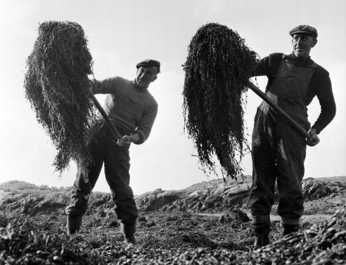 The Great Seaweed Harvest